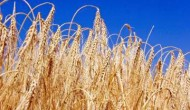 Shavuot is a harvest celebration, often symbolised by wheat
